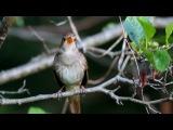 Common Nightingale