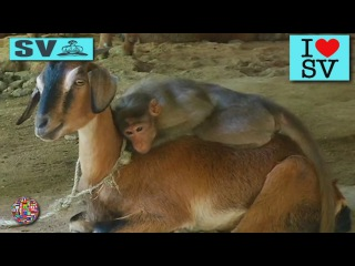 Funny animals videos : Funny Monkey, Sheep, Cats - Funniest Moments. Love forever. Best Cat *SV HD*