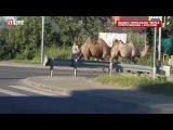 Водители сняли верблюдов, гуляющих по шоссе под Москвой