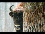 Беловежская Пуща. История леса. Спасение зубра. Флора и фауна.