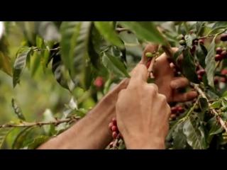 Плантация кофе в Коста-Рике