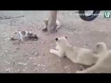 Львы против маленькой собачки