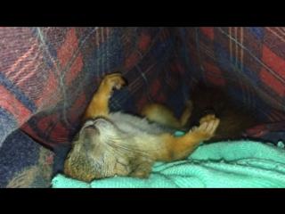Вот так спит Джулька после тяжёлого трудового дня! А Вы тоже ещё спите? #Натаника #белкаДжулька #бельчонок #squirrel #squirrels #sincap #adorable #animal #animals #animallovers #animallover #cute #socute #instagood #instagram #insta #instalove #сон #photooftheday #photo #photos #pet #petsgram #petsofinstagram #pets #petstagram #белка #белочка #киев