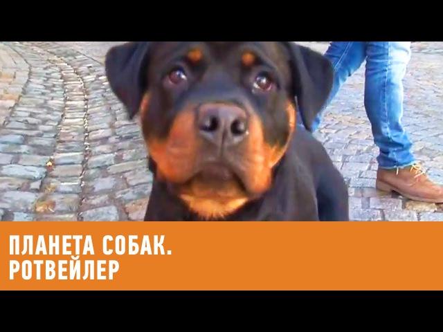 Ротвейлер Планета собак 🌏 Моя Планета