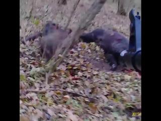 Результативная стрельба по кабанам