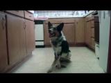 Очень умная собака по кличке Jumpy