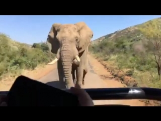 Arnold schwarzenegger had a close encounter with an elephant whilst on a safari in south africa