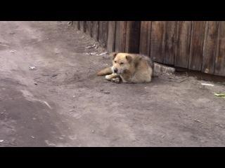 Видео - Спасение 2. Освобождение собаки от проволоки