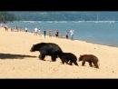 Медведица привела медвежат на пляж в Калифорнии