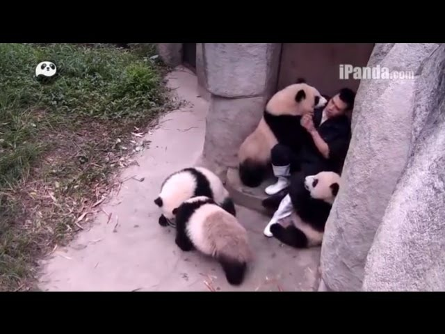IPanda Panda Story Daddy's advice exercise to be healthy