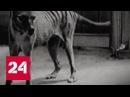 В Австралии заметили сумчатого волка вымершего в прошлом веке