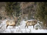 Охота в Якутии. Охота на изюбря.
