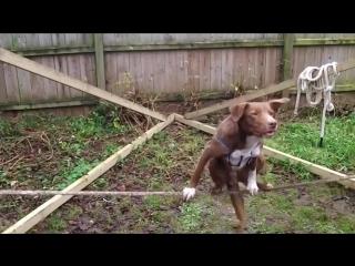Пёс на канате
