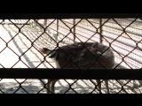Олениха рожает олененка(Николаевский зоопарк 5июня 16г.)