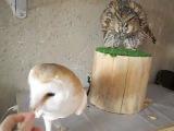 Ушастая сова и сипуха защитная реакция 2 ч. - Long-eared owl and Barn owl defensive reaction part 2
