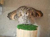 Ушастая сова и сипуха защитная реакция 1 ч. - Long-eared owl and Barn owl defensive reaction part 1