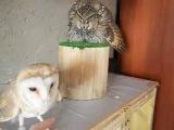 Ушастая сова и сипуха защитная реакция 3 ч. - Long-eared owl and Barn owl defensive reaction part 3