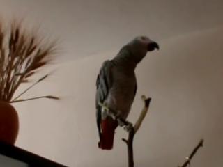 Попугай рассказывает сказку про Красную Шапочку... )))