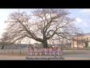 AKB48. Sakura no kini naru. (русский перевод)