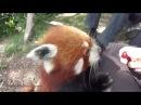 Домашняя красная панда