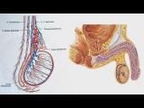 Мужская половая система — видеолекция (Анатомия)