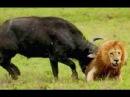 Разъяренные буйволы напали на львов защищая детеныша Эпическое сражение буйв