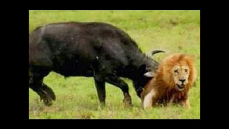 Разъяренные буйволы напали на львов защищая детеныша / Эпическое сражение буйв ...
