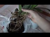 Достаём камбрию из горшка. Осмотр корней. Коротко про камбрии.
