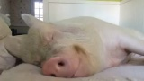 Свинтус кушает, не просыпаясь