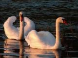 la cross save me swan lake - YouTubevia torchbrowser.com