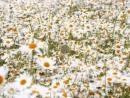 Наталя Май  А роси падають в траву
