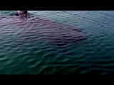 Megalodon Shark Caught on Tape - Up-Close Footage by Scared Fisherman