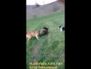 Kangal VS boar (кангал кабан притравка Собачьи бои)