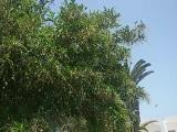 райское дерево
