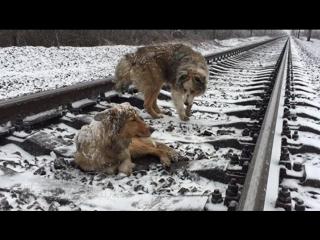 Пес двое суток под проносившимися поездами согревал раненую мать