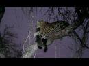 Leopard VS Honey Badger at Jock Safari Lodge, Kruger National Park.