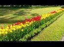 Ботанический сад Санкт Петербург.Цветут рододендроны.Альпийские горки