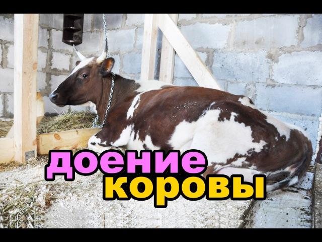Доение коровы доильным аппаратом. Кормление телёнка \ Milking a cow. Feeding the calf