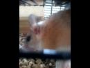 Космо Ванда и мышата! Иглистые мыши-Акомисы