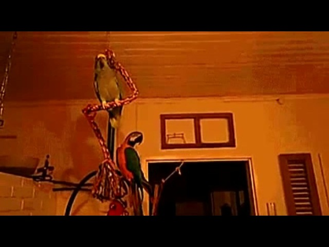 Classic and metal parrots