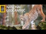 WildCat Lynx (National Geographic)
