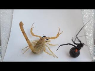 Скорпион vs Паук Черная Вдова