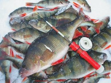 Ловля окуня на мормышку: как найти рыбу на водоеме