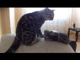Ласковые шотландцы. Папа кот очень ласков к своему сыну-котику. Забавные и смешные кошки. Часть 3