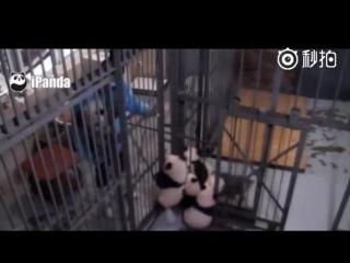 «Побег из курятника» по-китайски: панды рвутся на свободу