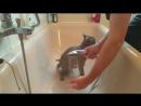Как мыть кота.Британский кот моется