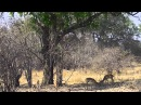 Unbelievable Leopard Kill Norman Carr Safari Zambia 2014