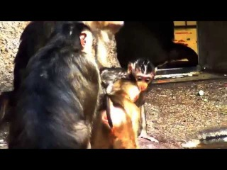 Macaca nemestrina monkey saved by mother at the Prague zoo