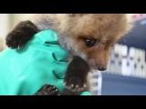Video Feeding time for rescued baby fox