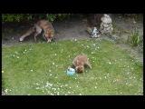Baby fox cubs feeding May 2013